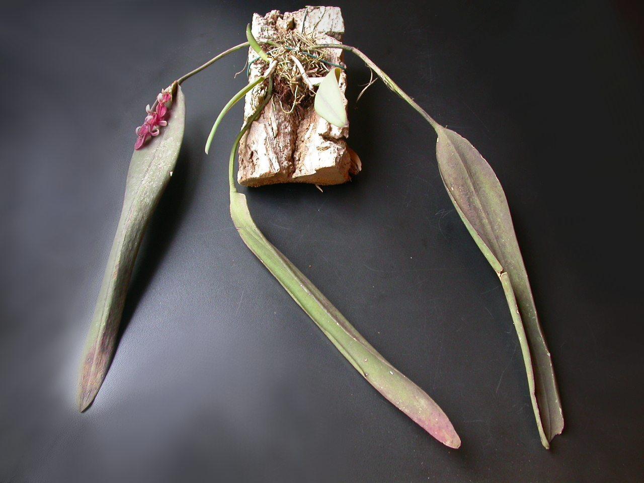 Image of <i>Acianthera strupifolia</i> (Lindl.) Pridgeon & M. W. Chase