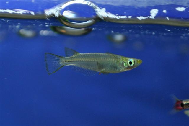 Image of Chinese rice fish