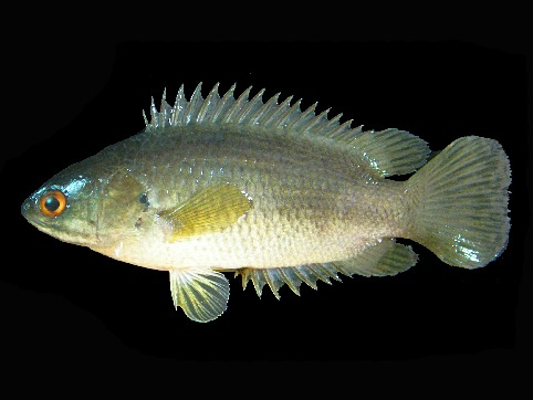 Image of Climbing perch