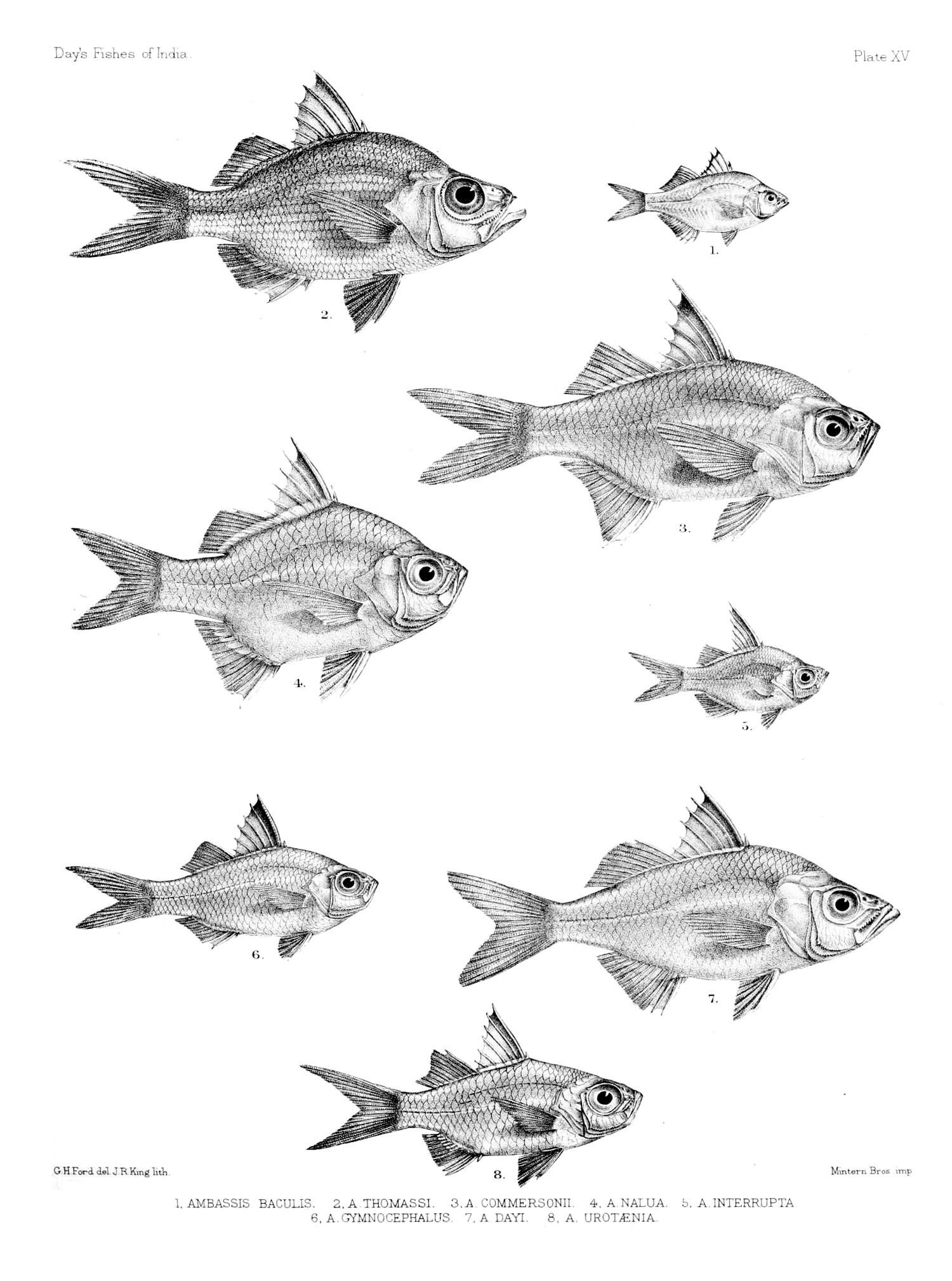 Image of Scalloped Glassfish