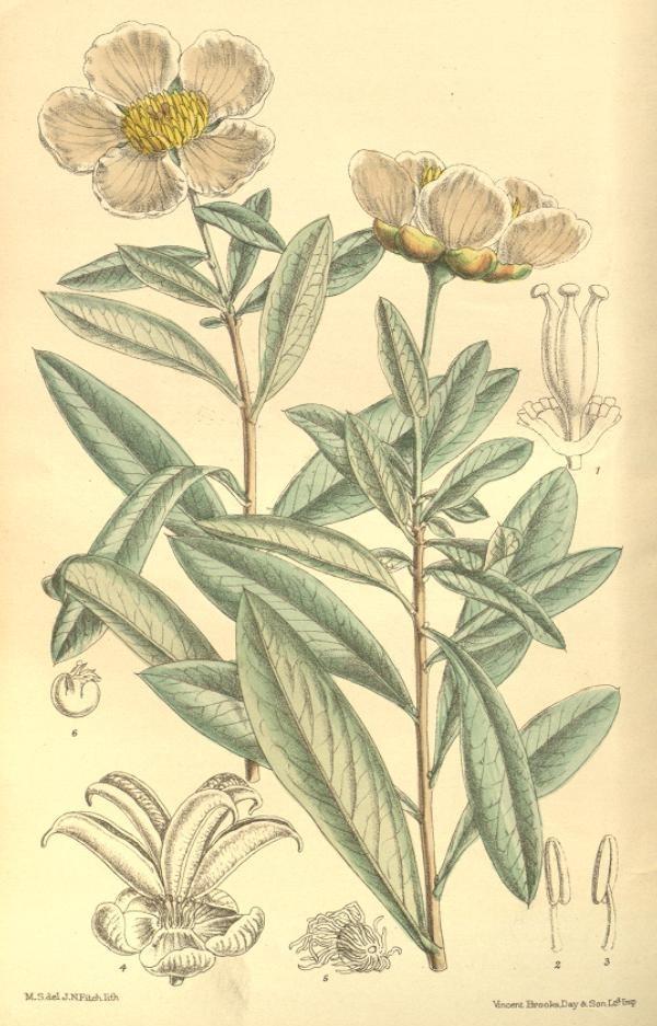 Image of California rockflower