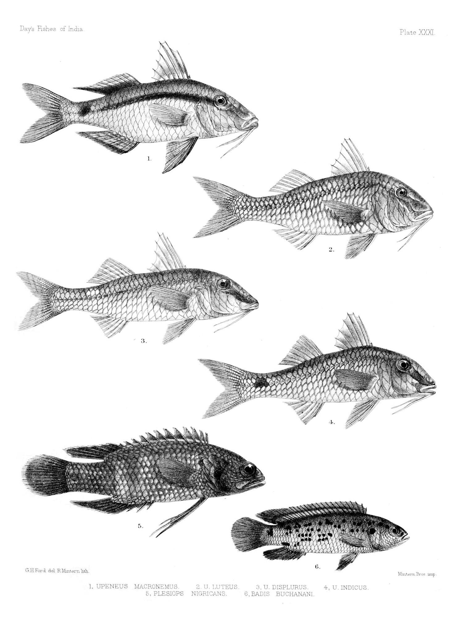 Image of Blue perch