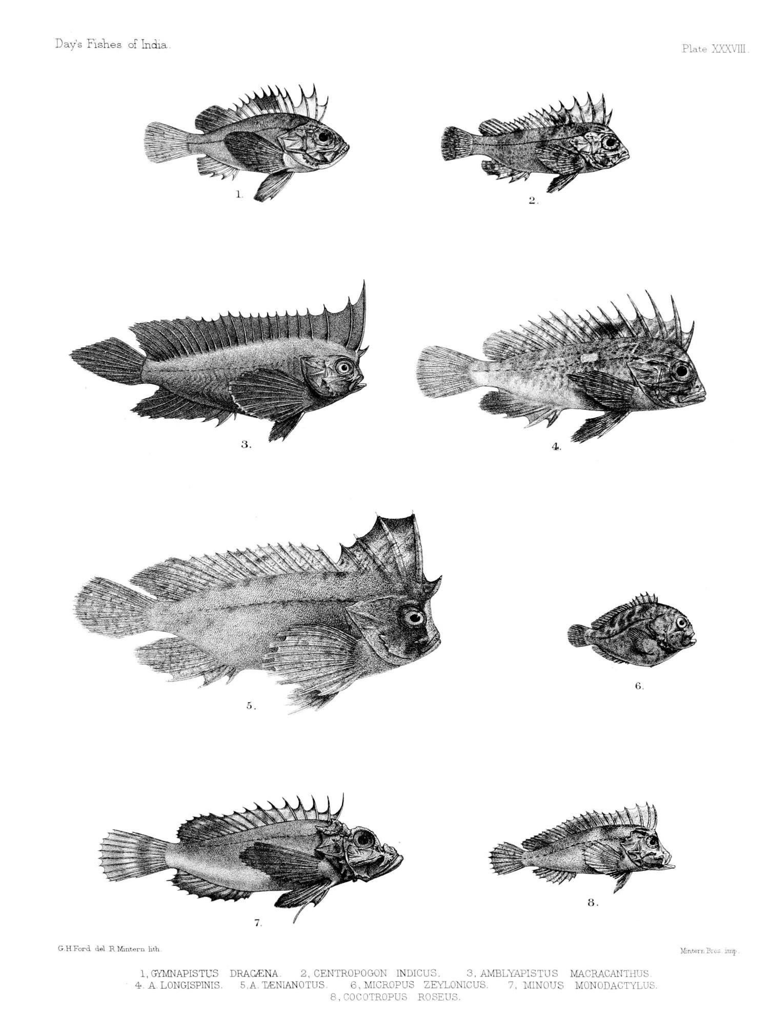 Image of <i>Pseudovespicula dracaena</i> (Cuvier 1829)