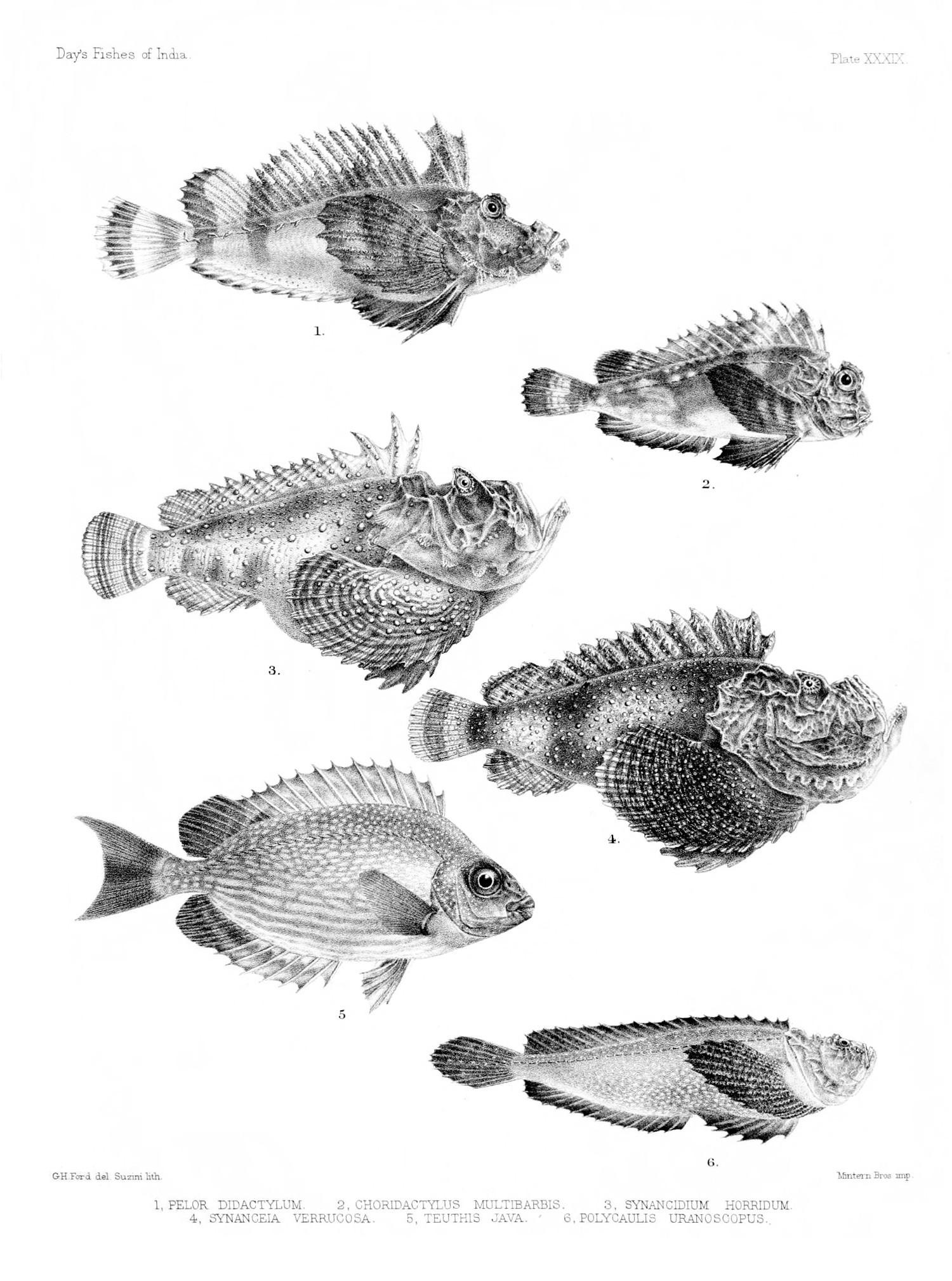 Image of Stargazing stonefish