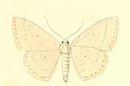 Image of <i>Scopula turbulentaria</i> (Staudinger 1871)