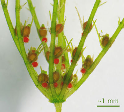 Image of Delicate Stonewort