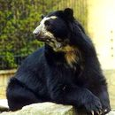 Image of Spectacled bear