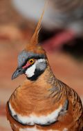 Image of Spinifex Pigeon
