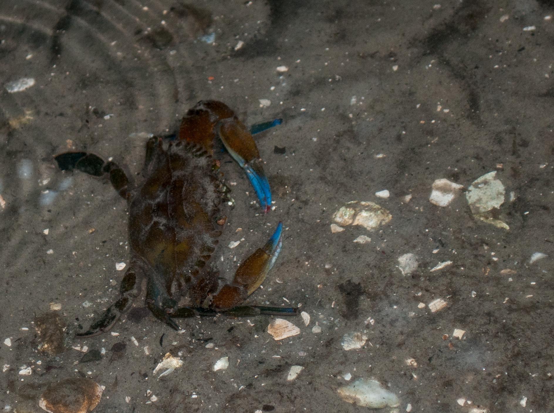 Image of rugose swimming crab