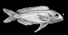Image of Bleeker&;s threadfin bream