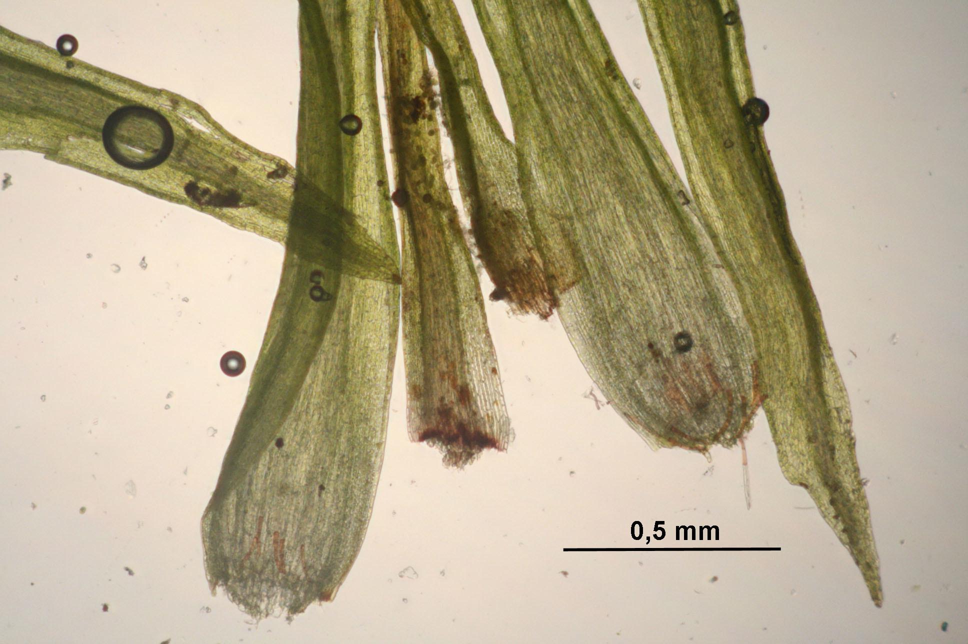 Image of meesia moss