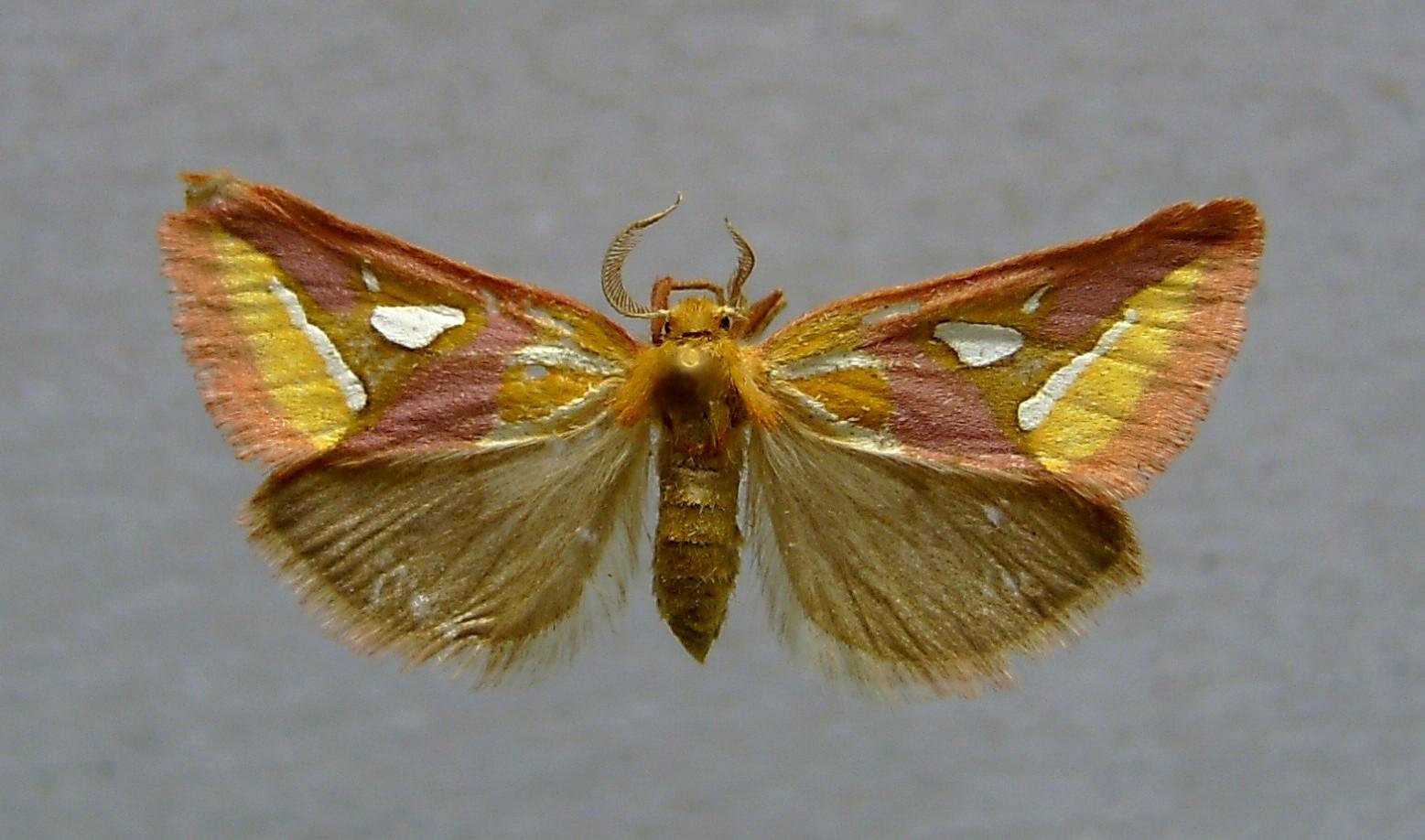 Image of <i>Axia margarita</i> (Hübner 1813)