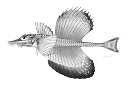 Image of Sail-fin poacher