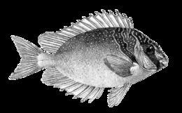 Image of Barhead spinefoot