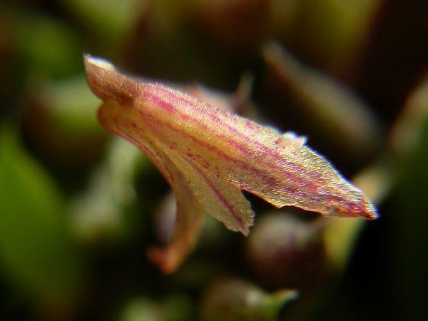 Image of <i>Acianthera aveniformis</i>