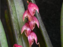 Image of <i>Acianthera fabiobarrosii</i> (Borba & Semir) F. Barros & F. Pinheiro