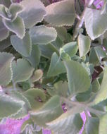 Image of Thick-leaf thyme