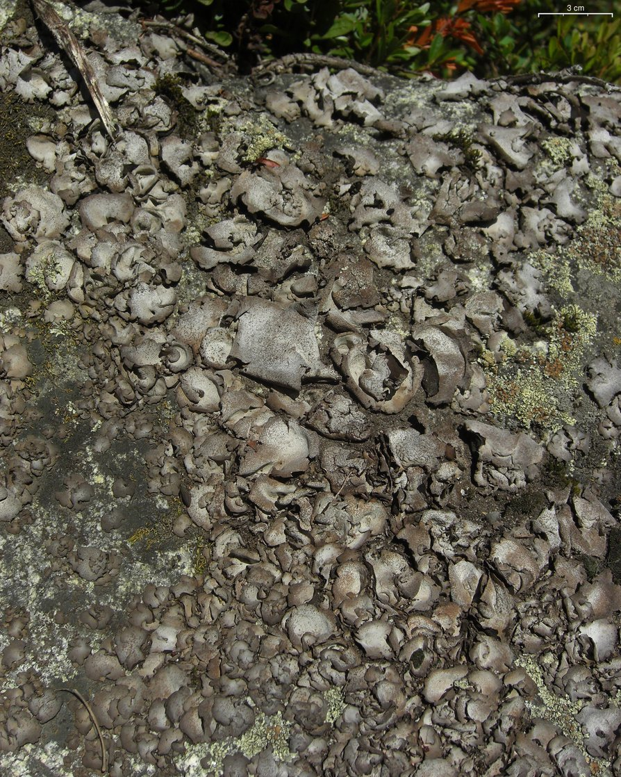 Image of Stippleback lichens