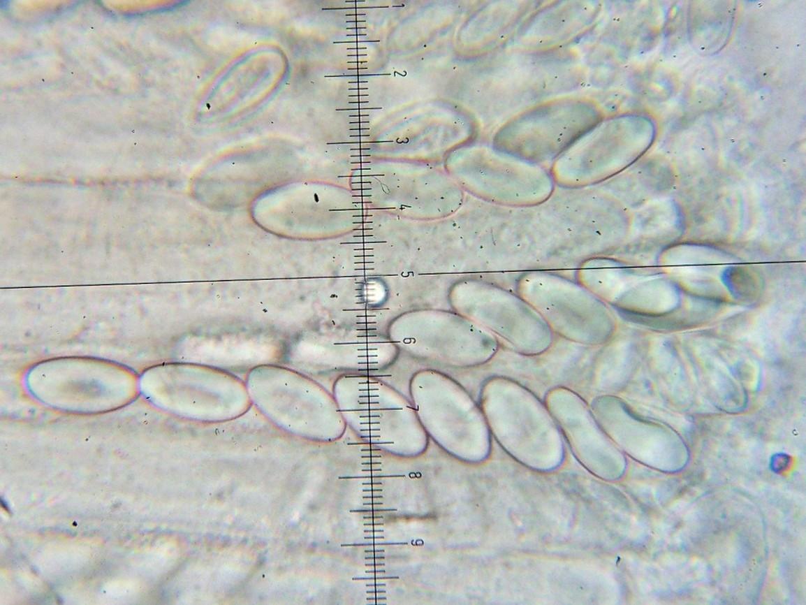 Image of Ascobolaceae