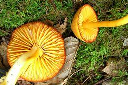 Image of <i>Humidicutis marginata</i> (Peck) Singer 1959
