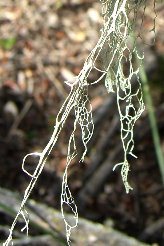 Image of Fishnet;   Menzies' cartilage lichen