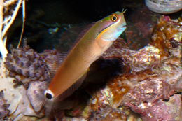 Image of Tail-spot Combtooth-Blenny