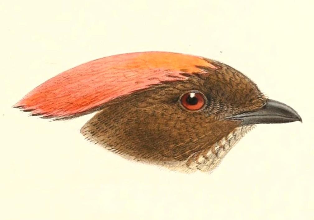 Image of Streaked Bowerbird