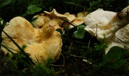 Image of <i>Albatrellus citrinus</i> Ryman 2003