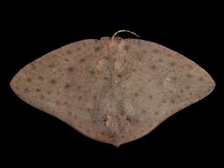 Image of Smooth Butterfly Ray