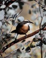 Image of Grey-crowned Babbler