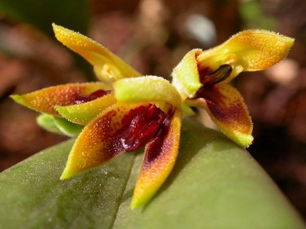 Image of <i>Acianthera aphthosa</i> (Lindl.) Pridgeon & M. W. Chase