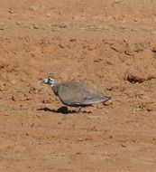 Image of Flock Bronzewing