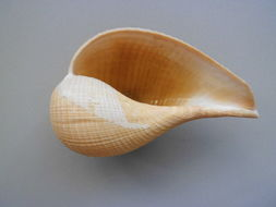 Image of paper fig shell