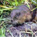 Image of Florida Water Rat