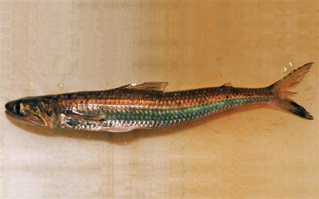 Image of Brushtooth lizardfish