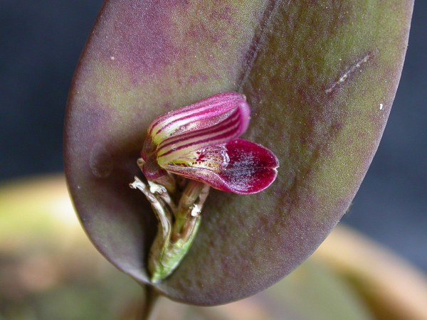 Image of <i>Acianthera panduripetala</i> (Barb. Rodr.) Pridgeon & M. W. Chase