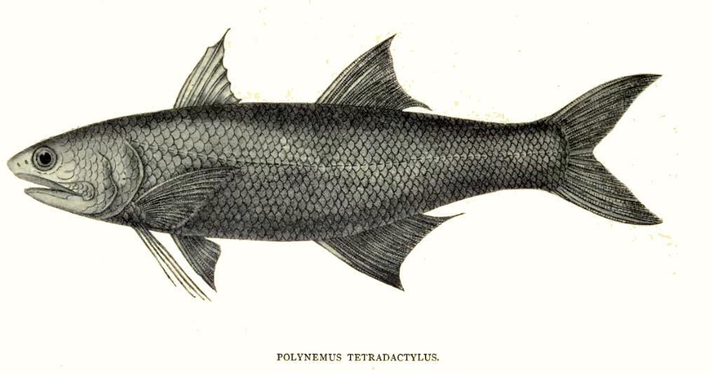 Image of <i>Eleutheronema tetradactylum</i> (Shaw 1804)