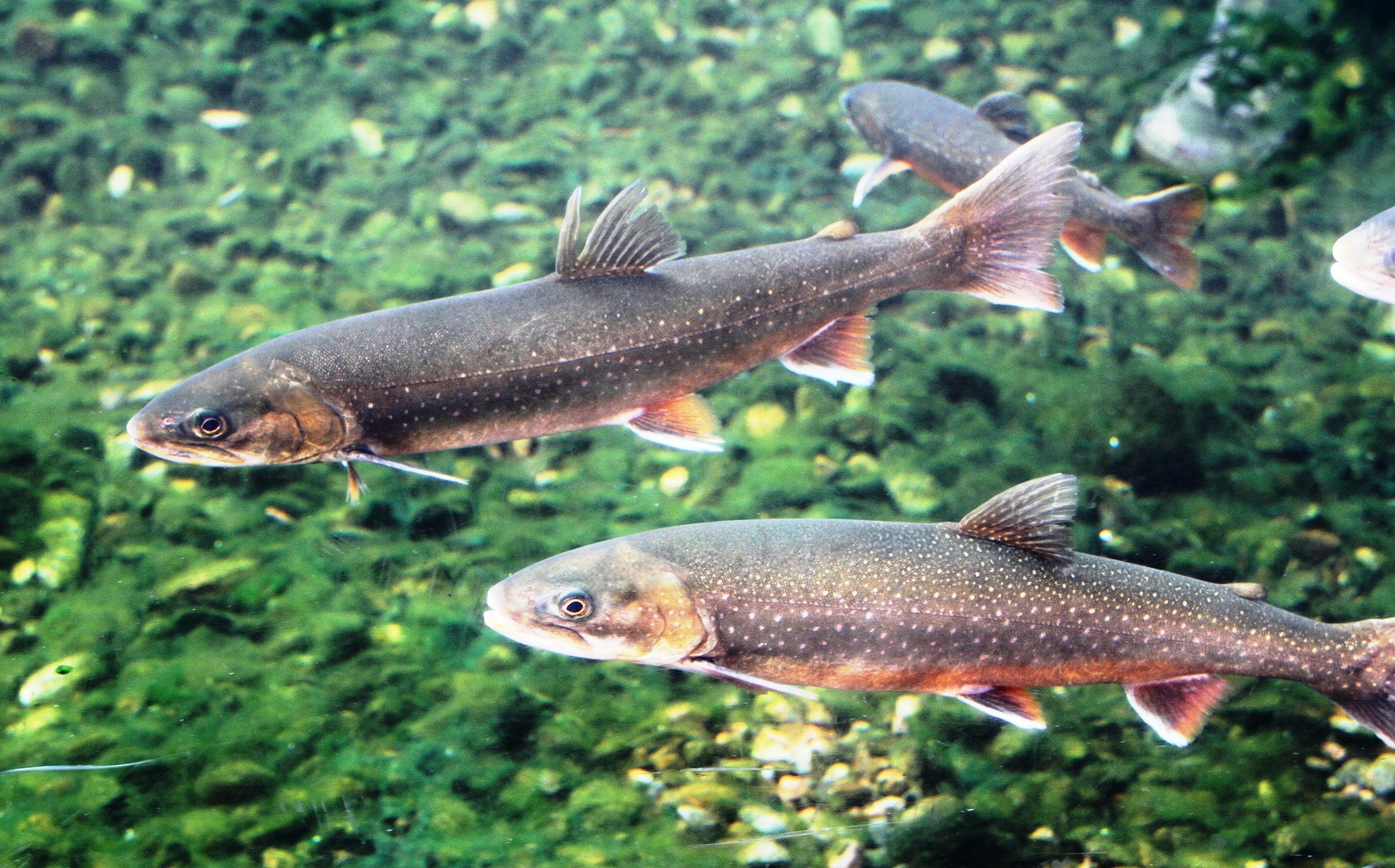 Image of Lake charr