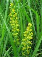 Image of <i>Narthecium asiaticum</i> Maxim.