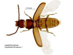 Image of Rusty grain beetle