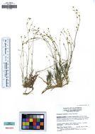 Image of <i>Eremogone aculeata</i> (S. Wats.) S. Ikonnikov