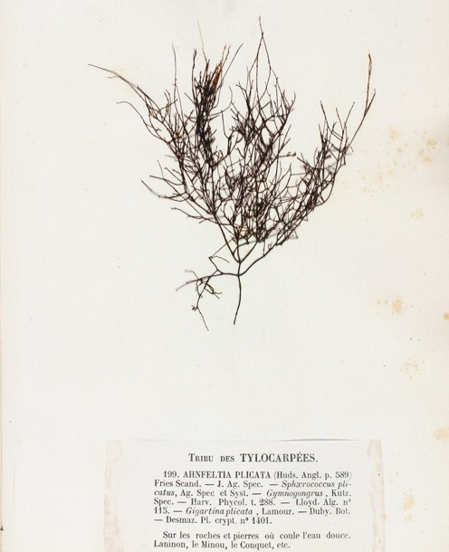 Image of <i>Ahnfeltia plicata</i>