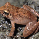 Image of Taylor's Wrinkled Ground Frog