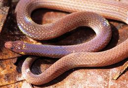 Image of Mcnamara's Burrowing Snake