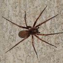 Image of Tengellid spiders