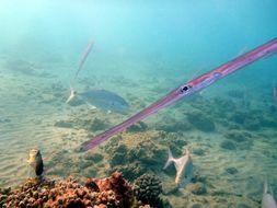 Image of Bluespotted cornetfish
