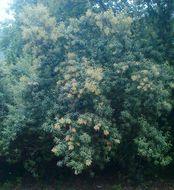 Image of Camphor bush