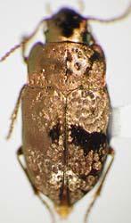 Image of <i>Systolosoma lateritium</i> Nègre 1973