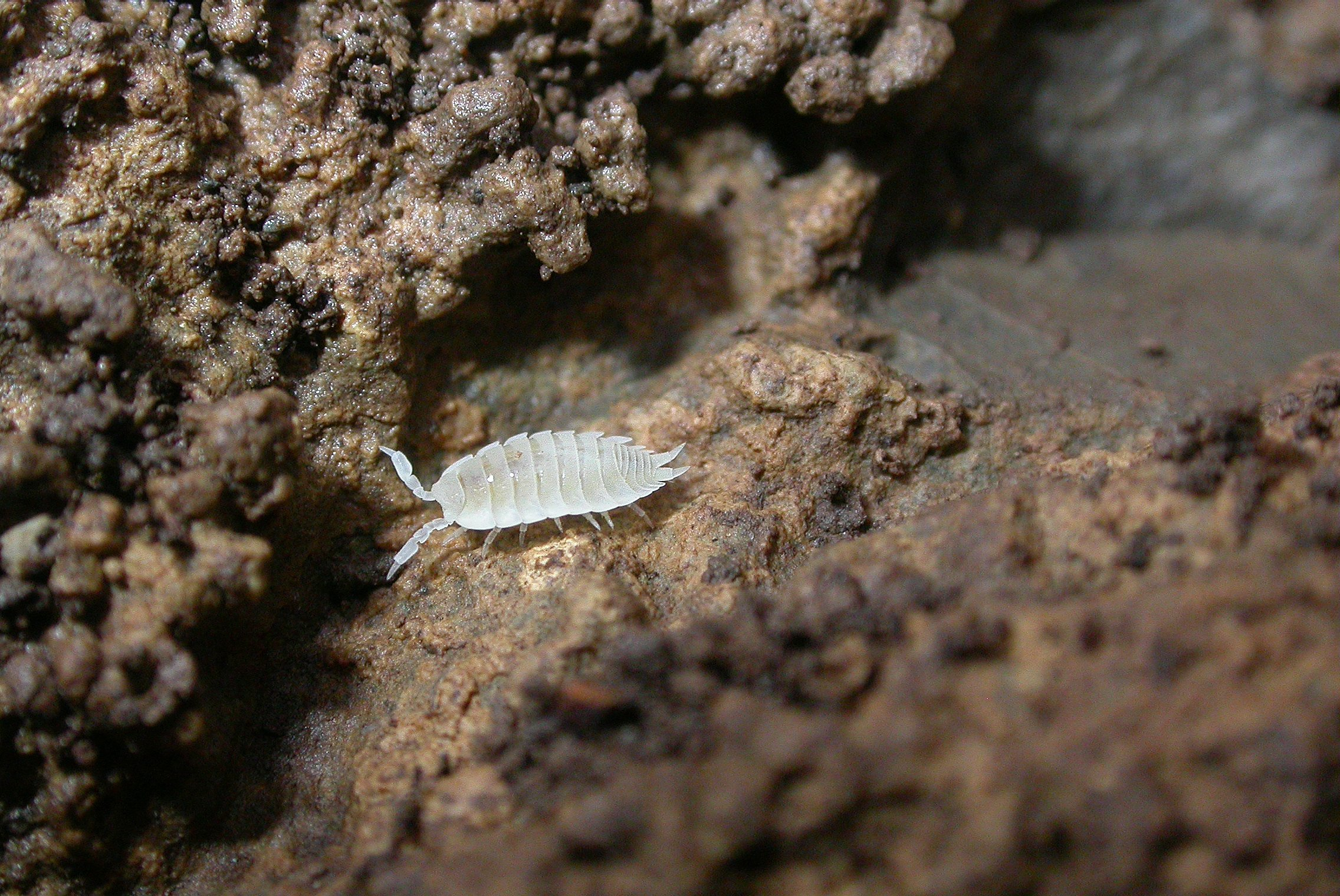 Image of Ant woodlouse