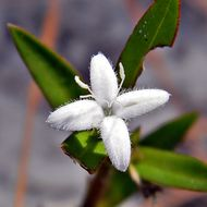 Image of Virginia buttonweed